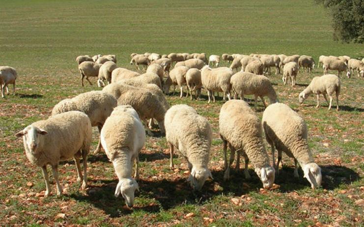 1152 Euros Por Oveja Y 671 Por Cabra Importe Ayudas Asociadas