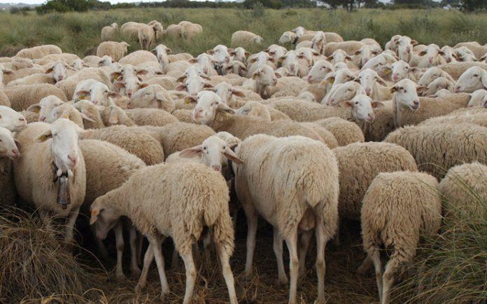 ovejas manchegas