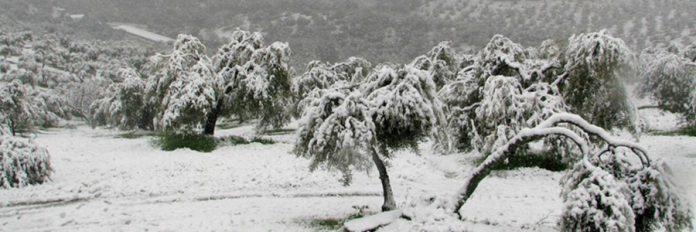olivos nieve Filomena COAG